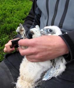 Jaktfalkungen ringmärktes 4 juli 2012 i västra Jämtlandsfjällen.  Foto: U. Falkdalen
