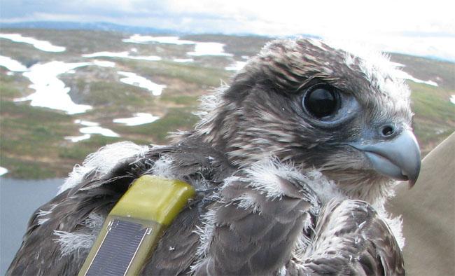 Ung jaktfalk med satellitsändare, märkt i Jämtland i juni 2008. Foto: Ulla Falkdalen