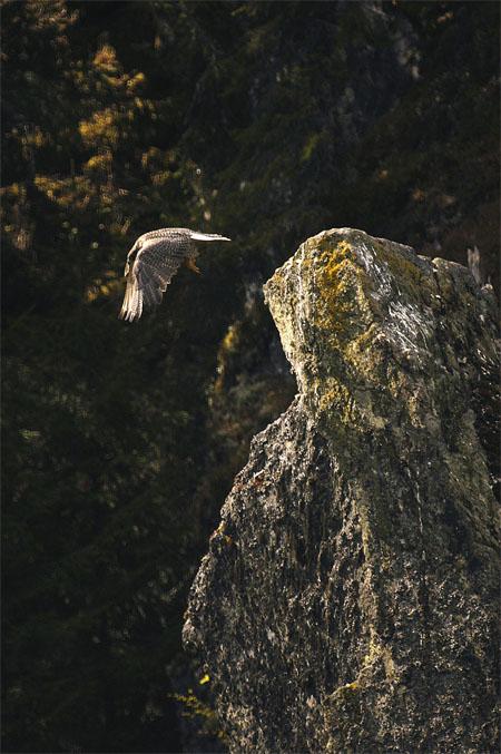 Adult jaktfalk. Foto:Torgeir Nygård