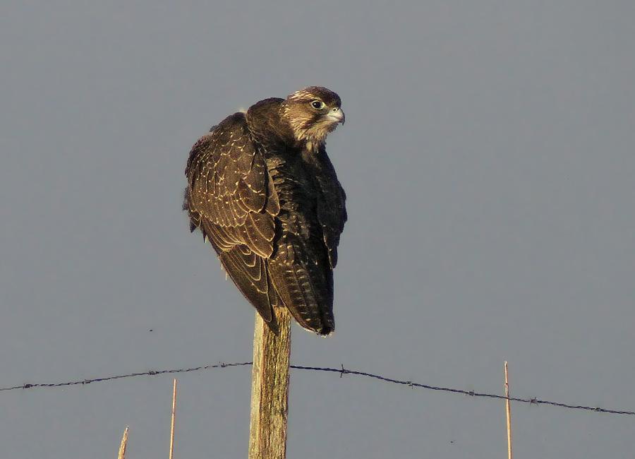 Ungfågeln fotograferad i januari 2013.