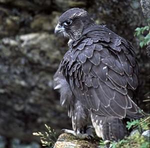 Nyss flygg jaktfalk (Falco rusticolus) i Jämtlandsfjällen © Henri Engström