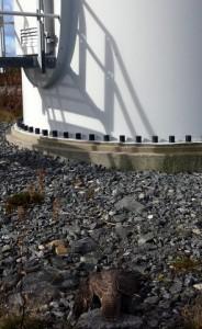 Juvenil jaktfalk funnen död i Smøla vindpark i Norge. Foto: Sigbjørn Sørli