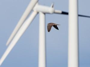 Juvenila jaktfalkar ses ibland jaga ripor i Smøla vindpark. Foto: Espen Lie Dahl