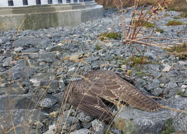 Ung jaktfalk funnen död i Smøla vindpark. Foto: Sigbjørn Sørli