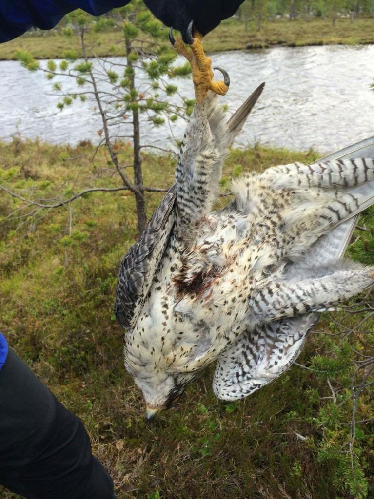 Jaktfalken såg ut att ha blivit skjuten med en helmantlad kula som passerat igenom kroppen.